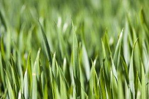 Agriculture. cereals. Spring