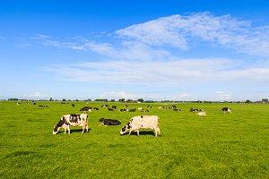 Cows in field in summer