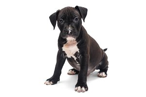 Black Staffordshire Terrier puppy