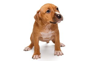 Orange puppy Staffordshire Terrier