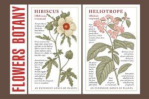 Hibiscus heliotrope flowers botany