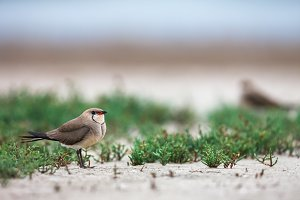 Collared pratincole on the sea shore