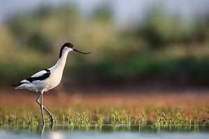 Pied avocet at the lake