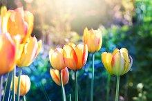 Nature background. Tulips.