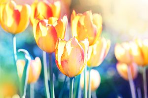 Nature background. Tulips flower