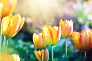 Nature background. Tulips flower.