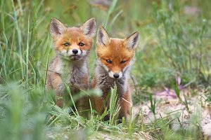European red fox kits