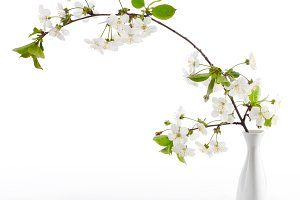 cherry twig in bloom in vase