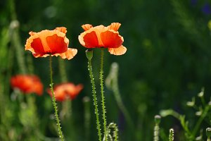 Red poppies in sunlight.