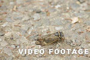 Cicada insect on the ground