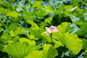 Pink Lotus among green leaves