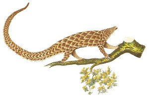 Illustration of pangolin