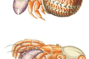 Illustration of Diogenes crab