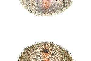 Illustration of sea urchin