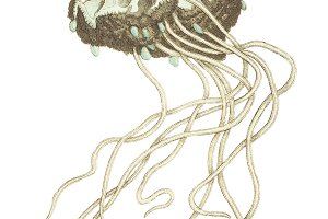 Illustration of Crown Jellyfish
