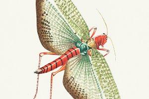 Illustration of Egyptian locust