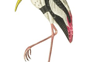 Illustration of White ibis