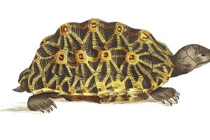 Illustration of Radiated tortoise