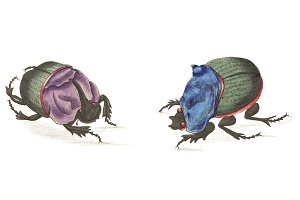 Illustration of Cyanean beetle