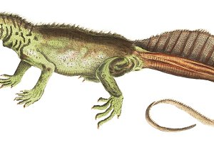 Illustration of lizard