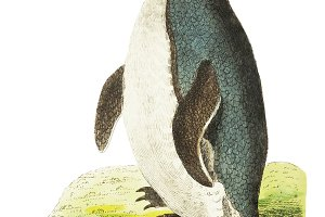 Illustration of penguin