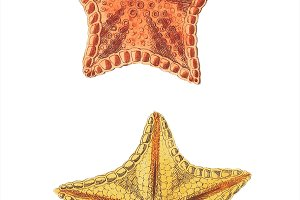 Illustration of star fish