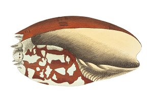 Illustration of shell
