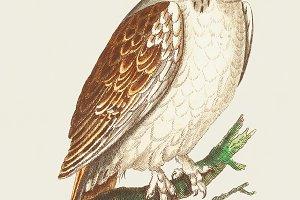 Illustration of owl (PSD)