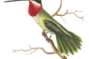 Illustration of hummingbird