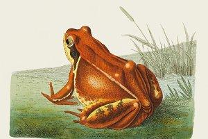 Illustration of frog (PSD)