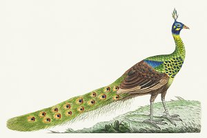 Illustration of peafowl