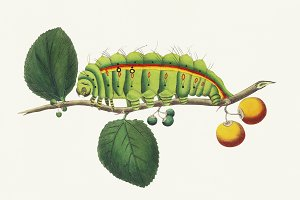 Illustration of caterpillar