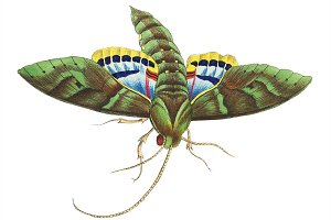 Illustration of insect
