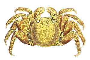 Illustration of crab