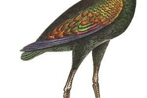 Illustration of Brazilian Curlew