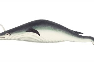 Illustration of whale