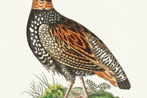 Illustration of Francolin Partridge