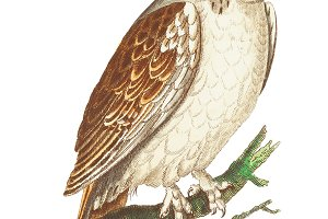 Illustration of owl