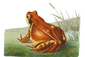 Illustration of frog
