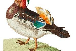 Illustration of duck