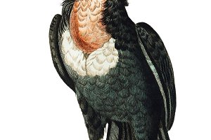 Illustration of vulture