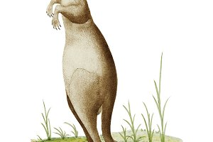 Illustration of kangaroo