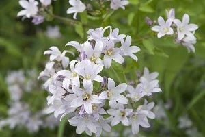 Gadellia (Campanula) lactiflora
