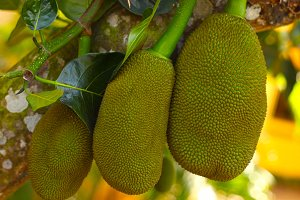 bog jack fruit gowing on tree