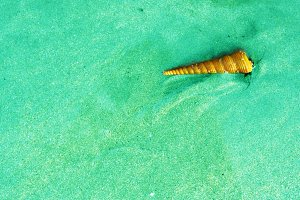 cone clam shell on the blue sand beach background
