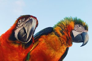 Man holds two colorful macaw parrots