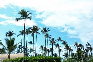 Tall green palms rise to blue summer