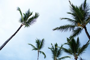 Tall green palms rise to blue sky