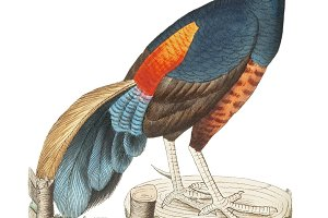 Illustration of pheasant