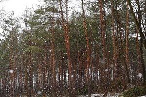 Coniferous trees in winter.